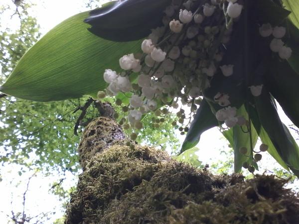 Un bouquet de Muguet en pleine forêt ; qui vous porte bonheur